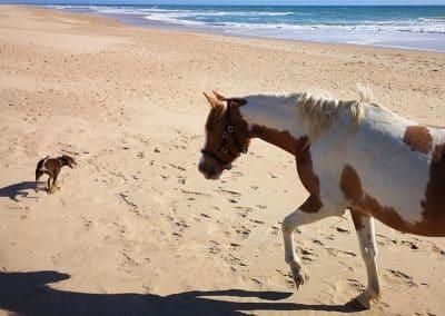 Chakiro-darf-als-Handpferd-mit-an-den-Strand