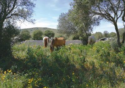 Zwischen-den-Olivenbäumen-auf-Futtersuche